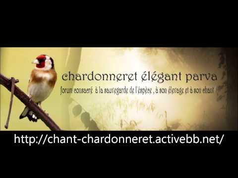 Chant Chardonneret d'Algerie Souk Ahras ll