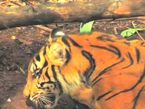 Tigre de Sumatra muere por culpa de la deforestación