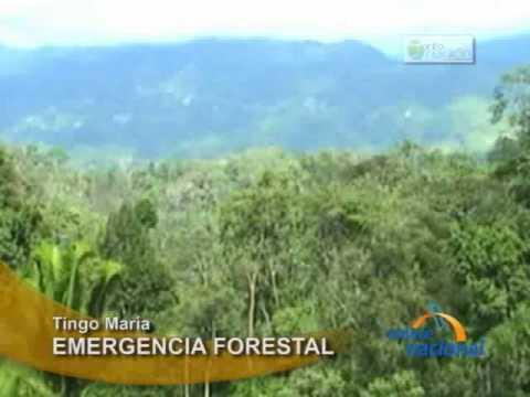 Se han talado 700 mil hectareas de bosques en la selva central