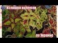 Предлагаю излишки моей коллекции колеусов по Украине для красоты и уюта в вашем доме!