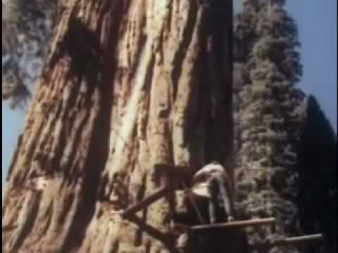 Requiem for the great tree sequoia felled by the crosscut sawyers - Talan una gran secuoya