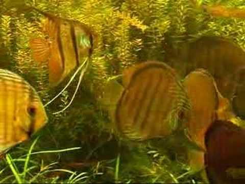 green discus (wild) and angelfish