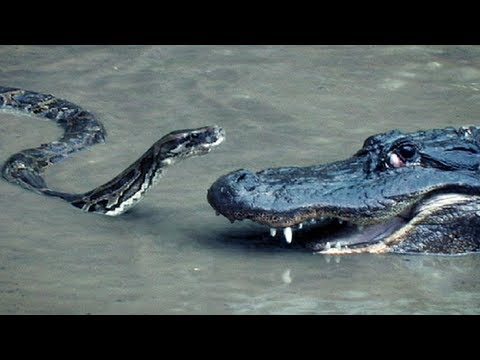 Python vs Alligator 16 -- Real Fight -- Python attacks Alligator