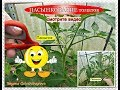 Огородничество. Выпуск #24 - ПАСЫНКОВАНИЕ томатов. Формирование Помидор в 1, 2,  и 3 стебля.