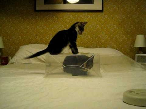Kitten attempts to defeat cat-s plastic fortress