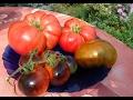 Пикировка томатов. Рассада в пелёнках.