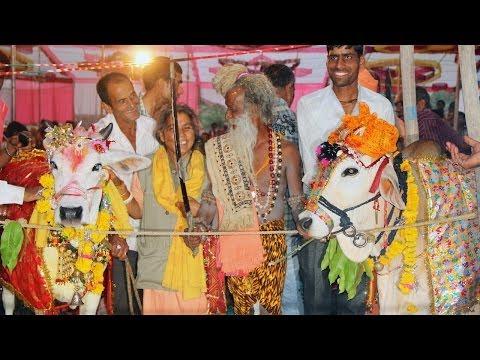 فيديو: حفل زفاف فاخر لـ (بقرة) في الهند يحضره اكثر من 5000 شخص ويكلف ما يقرب من 10 آلاف جينه استرليني.