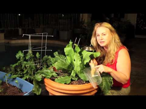 Horseradish: How to Grow by Nurse Amy