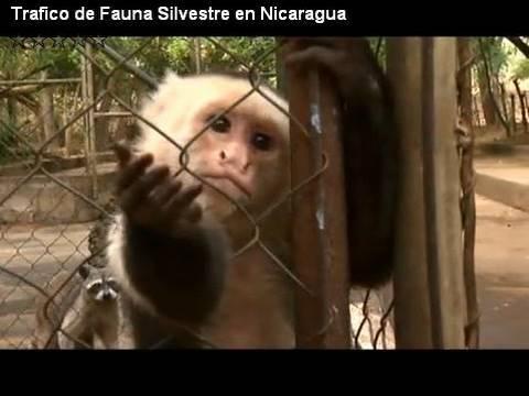 Trafico de Fauna Silvestre en Nicaragua
