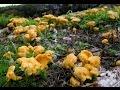 Лисички - огромная поляна. Лечебные свойства гриба лисички.