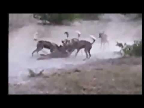 فيديو شاهد مقطع اقوى افتراس للنمور واسود وحيوانات اخرى