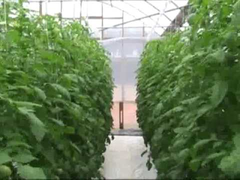 Growing Tomatoes Indoors in Winter