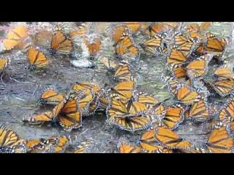 Mariposa Monarca / Noviembre 2010