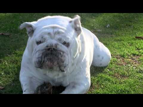 Bob the Bulldog - Slow Motion Sneeze