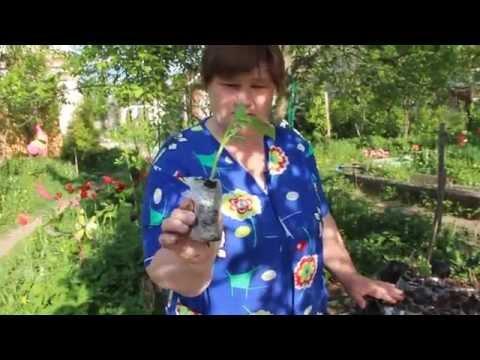 Купить рассаду огурцов