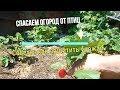 ДРОЗДЫ В ШОКЕ || Спасаем огород от птиц 🐤Огород, Сад, Дача 🍓, Советы по садоводству