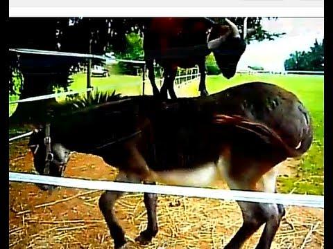 Video divertenti animali - capra vs asino - scontro finale (da ridere)