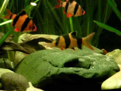 Best tankmates: My Clown loaches and Tiger barbs / Prachtschmerlen und Sumatrabarben [1/1]