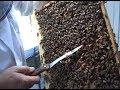 6/7 Secretele albinelor   Lucrari practice de vara   Apicultura ecologica pentru incepatori