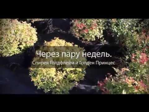 Спирея купить саженцы в Москве