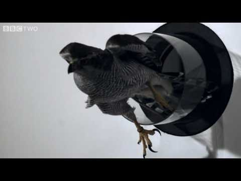 Goshawk Flies Through Tiny Spaces in Slo-Mo! - The Animal-s Guide to Britain, Episode 3 - BBC Two