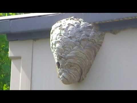 فيديو:  اسرع طريقة للتخلص من عشّ الدبابير باستخدام الماء !