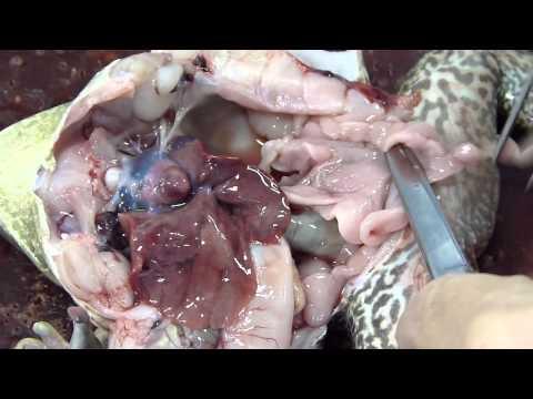 Aula prática de Zoologia - Dissecação de um anfíbio (Lithobathes catesbeiana)