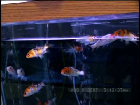 Videoclip # 3 - Fish Bowl Pet Shop - Koi, imported from Malaysia