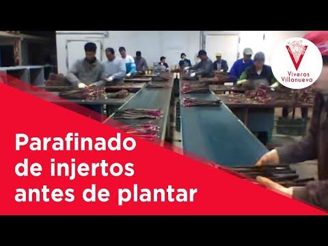 Parafinado de injertos antes de plantar en Viveros Villanueva Vides
