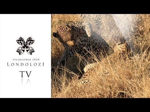 Exceptional Footage of Mating Leopards - Londolozi
