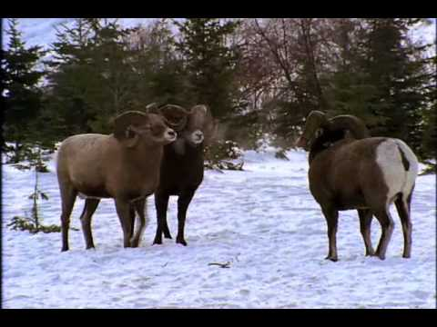 National Geographic- Bighorn Ram Rumble
