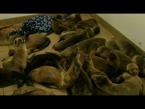 Baby sea lions sick and starving to death   3/22/13    (cnn)