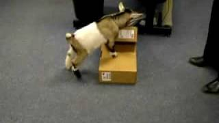 Cute Pygmy Goat in the Office