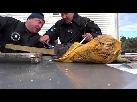 فيديو:  سمكة غريبة في روسيا تلتهم يد الصياد كاملة