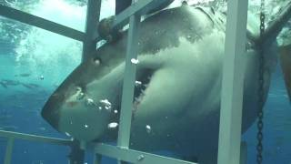 一回これぐらい近くでホオジロザメ見てみたいかも。ちょっと怖いだろうけどw。