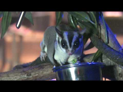 Extreme Mammals at AMNH - Sugar Gliders