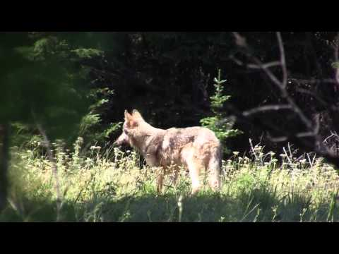 Snake River Wolf Pack Howling 7-25-12