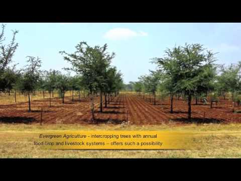 Evergreen Agriculture helping smallholder farmers  - World Agroforestry Centre