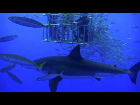 Recap of Guadalupe Island Great White Shark Dive August 2011 aboard the Nautilus Explorer