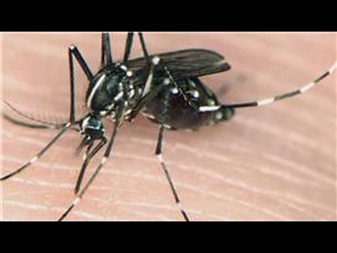Mosquito Information : Different Types of Mosquitoes