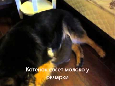soset-kulachek-zubi-rastut