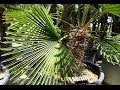 Chamaerops fortunéi - planteztop.fr