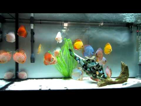 Discus Fish Tank Size Images