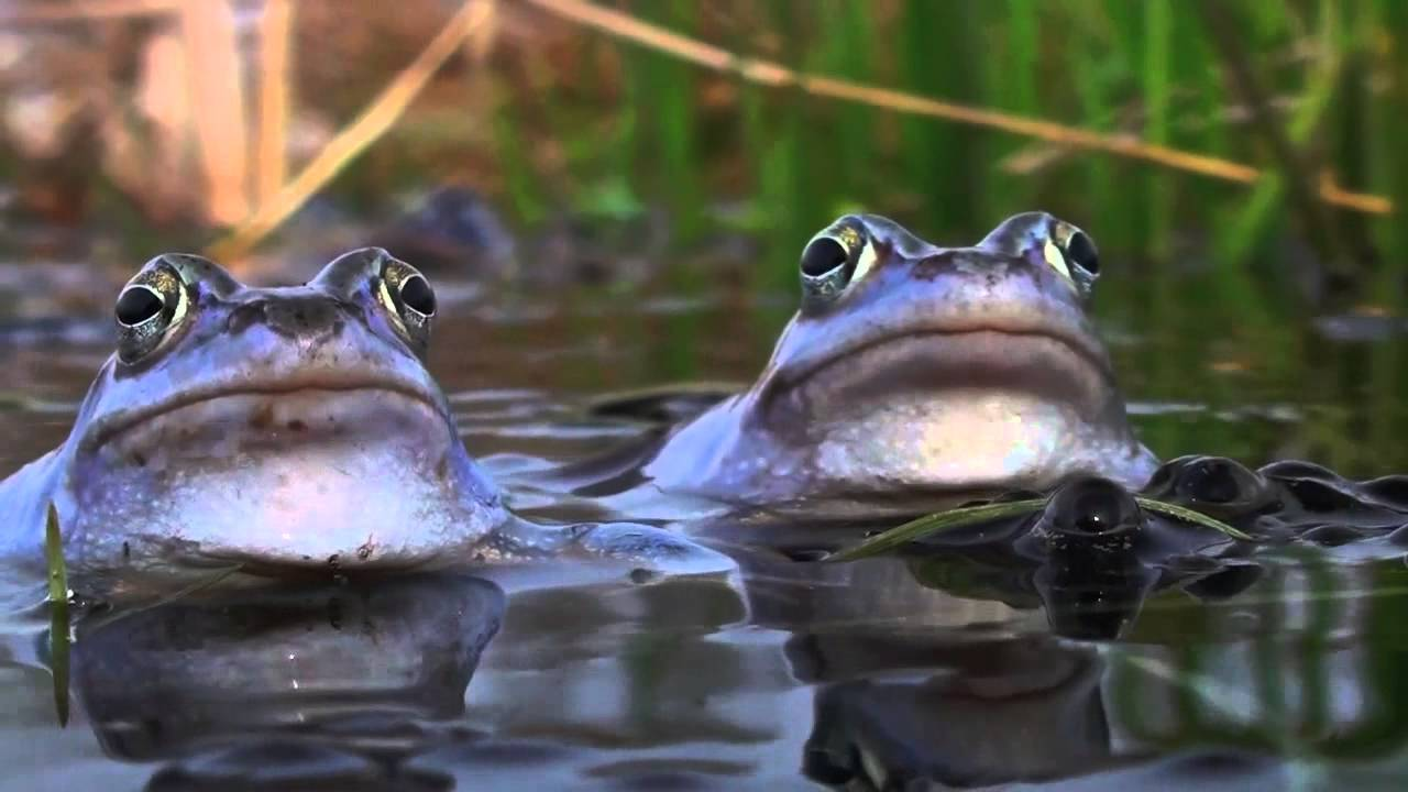 BLUE FROG / Love Frogs / Mating Moor Frogs. David Attenborough's opinion