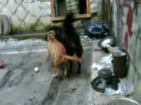 PitBull Rottweiler Boxer Shepherd Dog Fighting