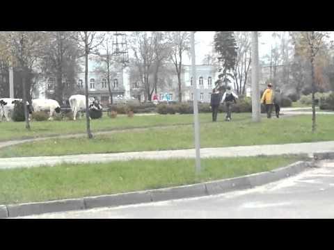 Выксунским бурёнкам запретили гулять погороду
