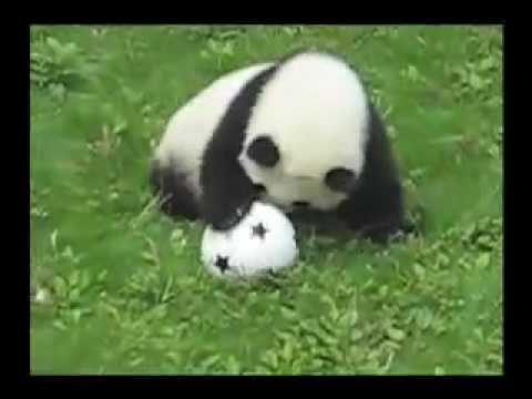 OMG it-s so cute! - baby panda playing soccer (aka football)