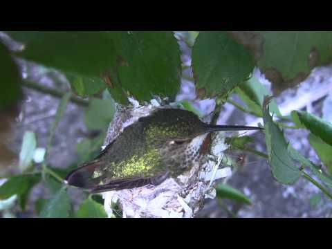 Allen's Hummingbird Nest with New Chick and Egg (12 sample clips) V14447