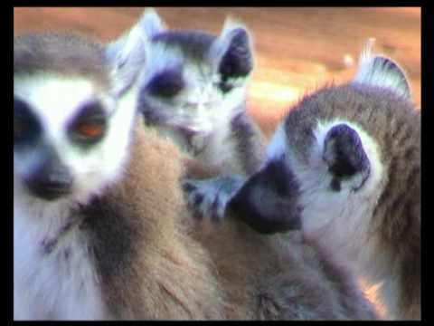 Ring-tailed Lemur (Lemurs and their children) - Lemure Catta