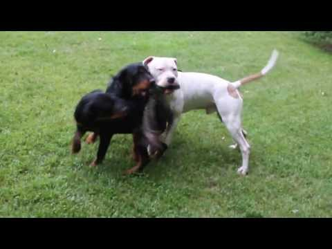DANGEROUS pitbull fights with rottweiler....DANGEREUX pitbull se bat avec Rottweiler